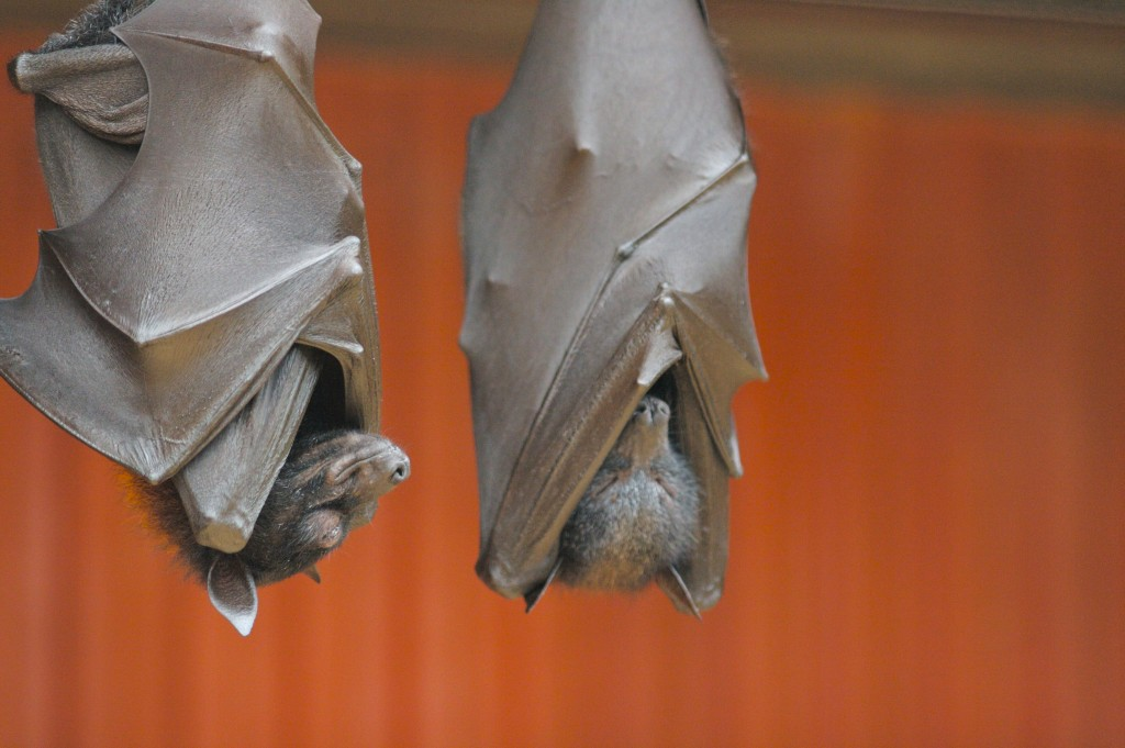 Flying foxes–potential carriers of the deadly Nipah virus–hanging out.