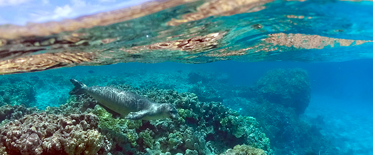 monk-seal-swimming-underwater-767x318.jpg