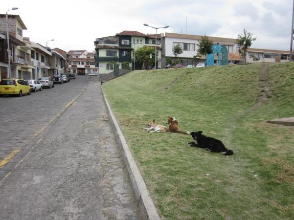 Street dogs in Ecuador