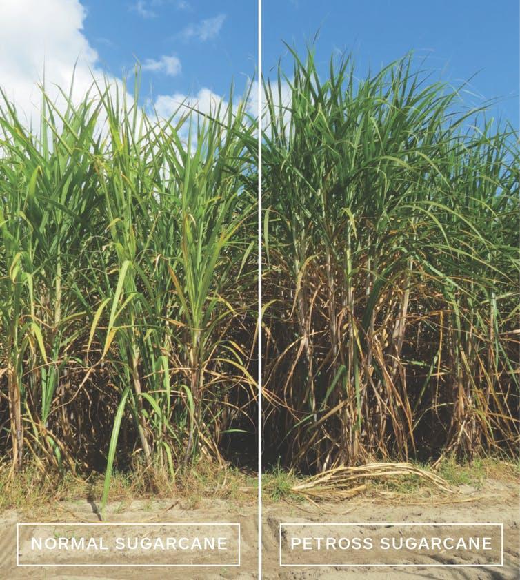 Normal sugarcane