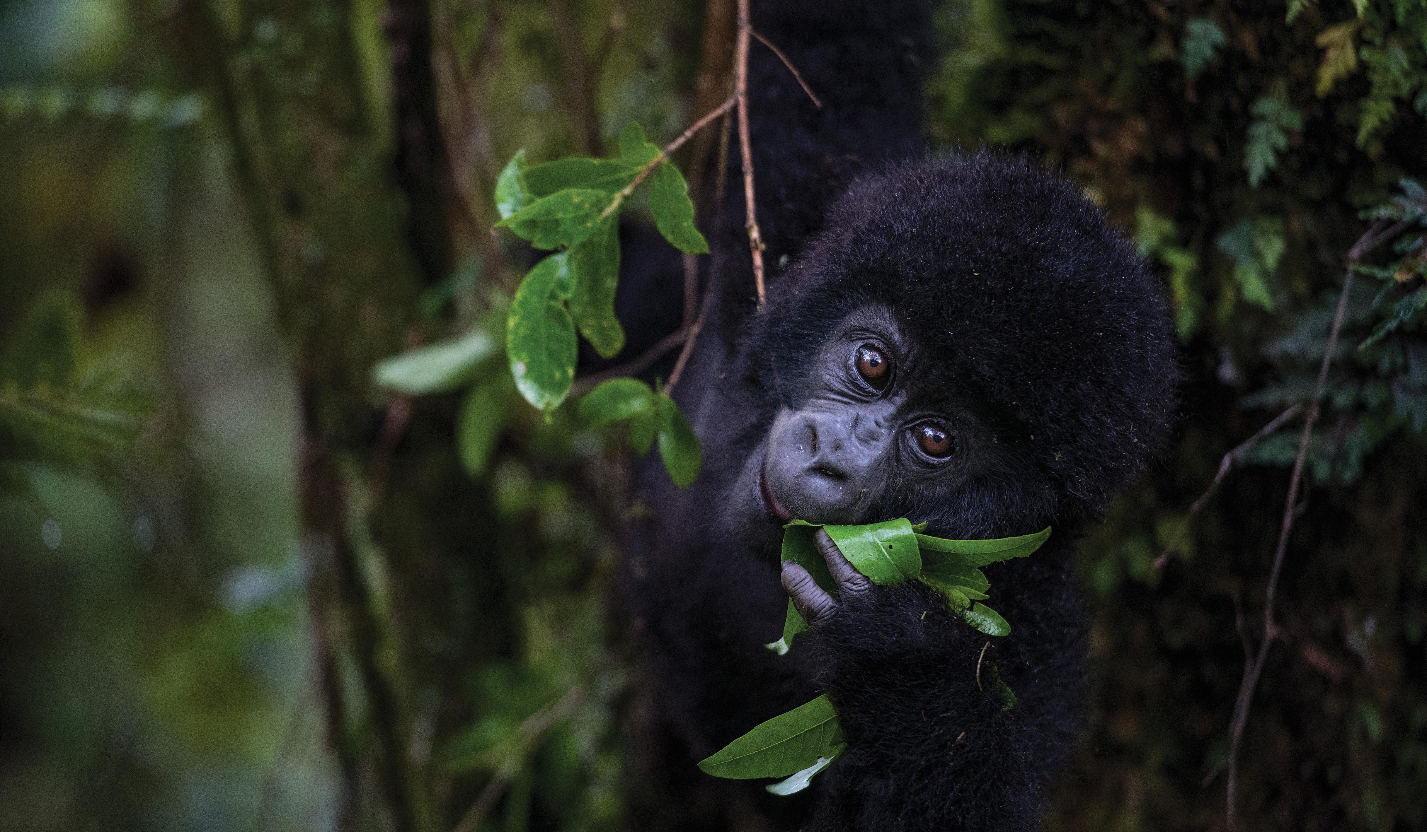 In Uganda's Mgahinga National Park, a 14-month-old male named Imbanzabigwi is poised to transition from mother's milk to foraging.