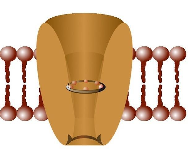 The TRVP4 molecule