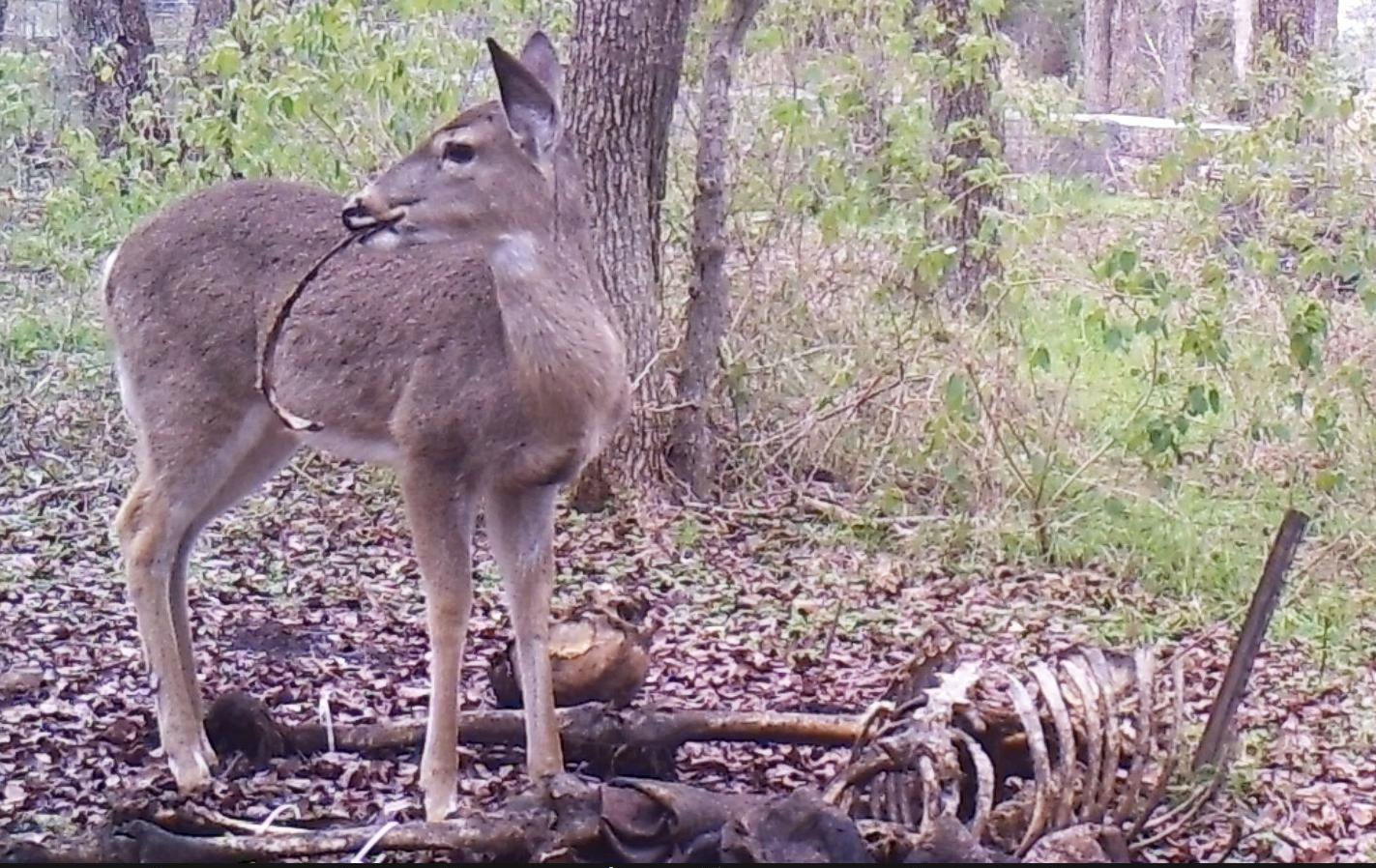Deer rib lateral