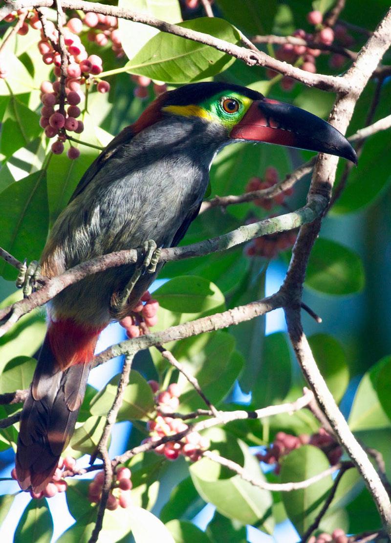 Guianan-toucanet.jpg