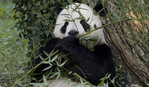 Follow the antics of the National Zoo's giant pandas (above: Tian Tian munching on bamboo) on the Panda Cams.