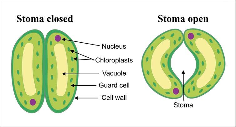 Stomata are little pores on the plant's surface that can open and close.