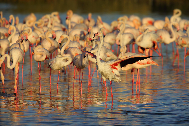 Greater Flamingo (Phoenicopterus roseus) in Dubai, United Arab Emirates