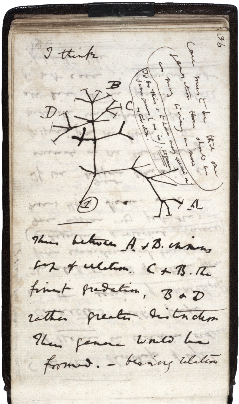 Charles Darwin's first diagram