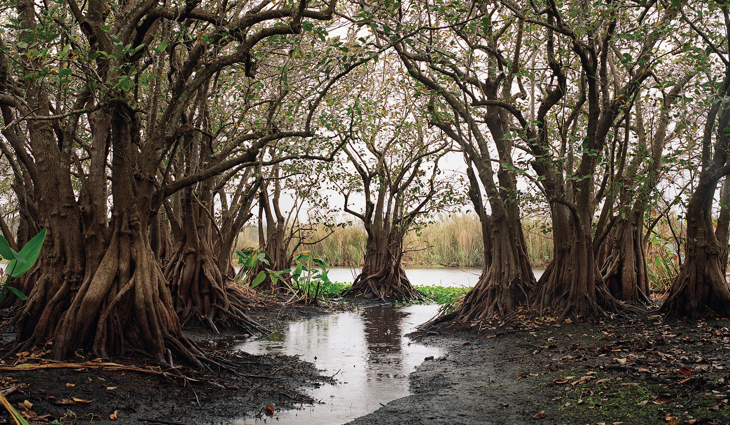 Custard apple trees—a freshwater version of mangroves once ringed Lake Okeechobee's southern shore in a three-mile-wide belt. Today, barely 100 acres remain.