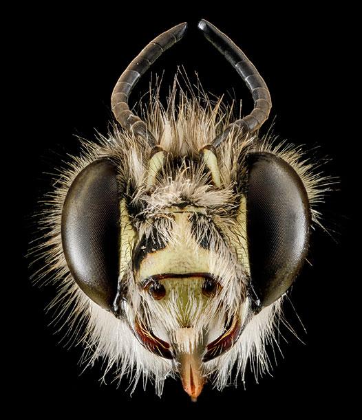 Anthophora plumipes, Maryland