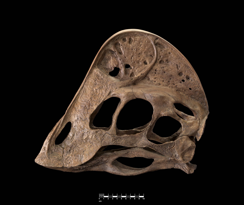 Oviraptorosaurian-skull