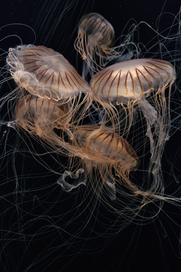 """Japanese sea nettles, Chrysaora pacifica, are featured in """"The Jellies Experience."""""""