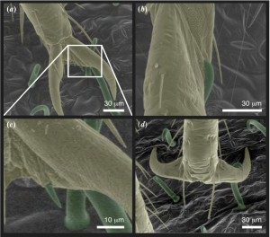 Images of bed bug legs (yellow) on bean leaf surfaces with hooked trichomes (green).