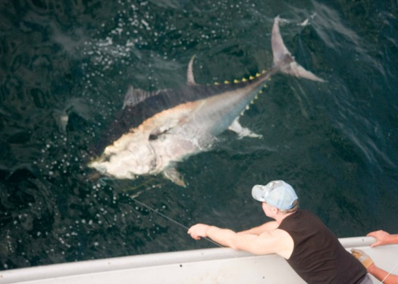 from cat food to sushi counter the strange rise of the bluefin tuna