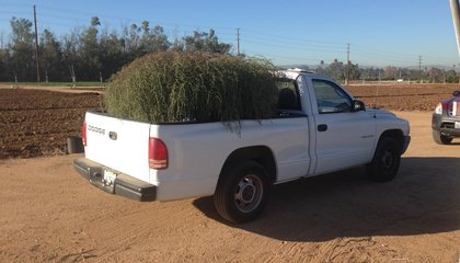 Monster Invasive Tumbleweed Is Outgrowing Its Parent Species image