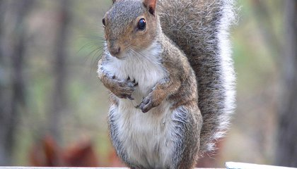 Squirrels Eavesdrop on Birds to Check if Danger Has Passed image