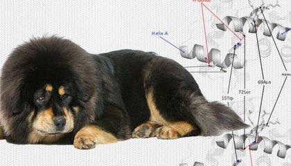 Wolves Gave Tibetan Mastiffs Their Mountaineering Genes image