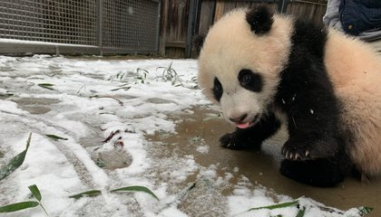 Watch Giant Pandas and Other Zoo Animals Frolic in the Snow image