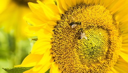 Honey Bees Can Do Simple Math, After a Little Schooling image