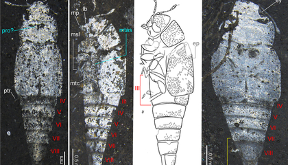 Fossil Mix-Up Could Rewrite the History of Beetles, the Largest Group of Animals on Earth image