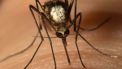 For the First Time in 75 Years, a New Invasive Species of Mosquito Was Found in Florida image