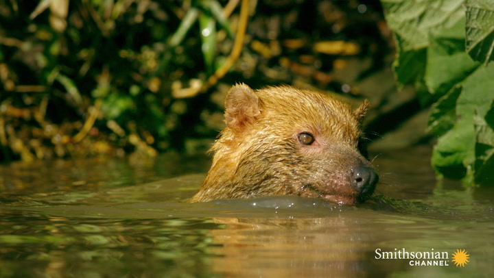 Why Bush Dogs Are So Different From Other Dogs